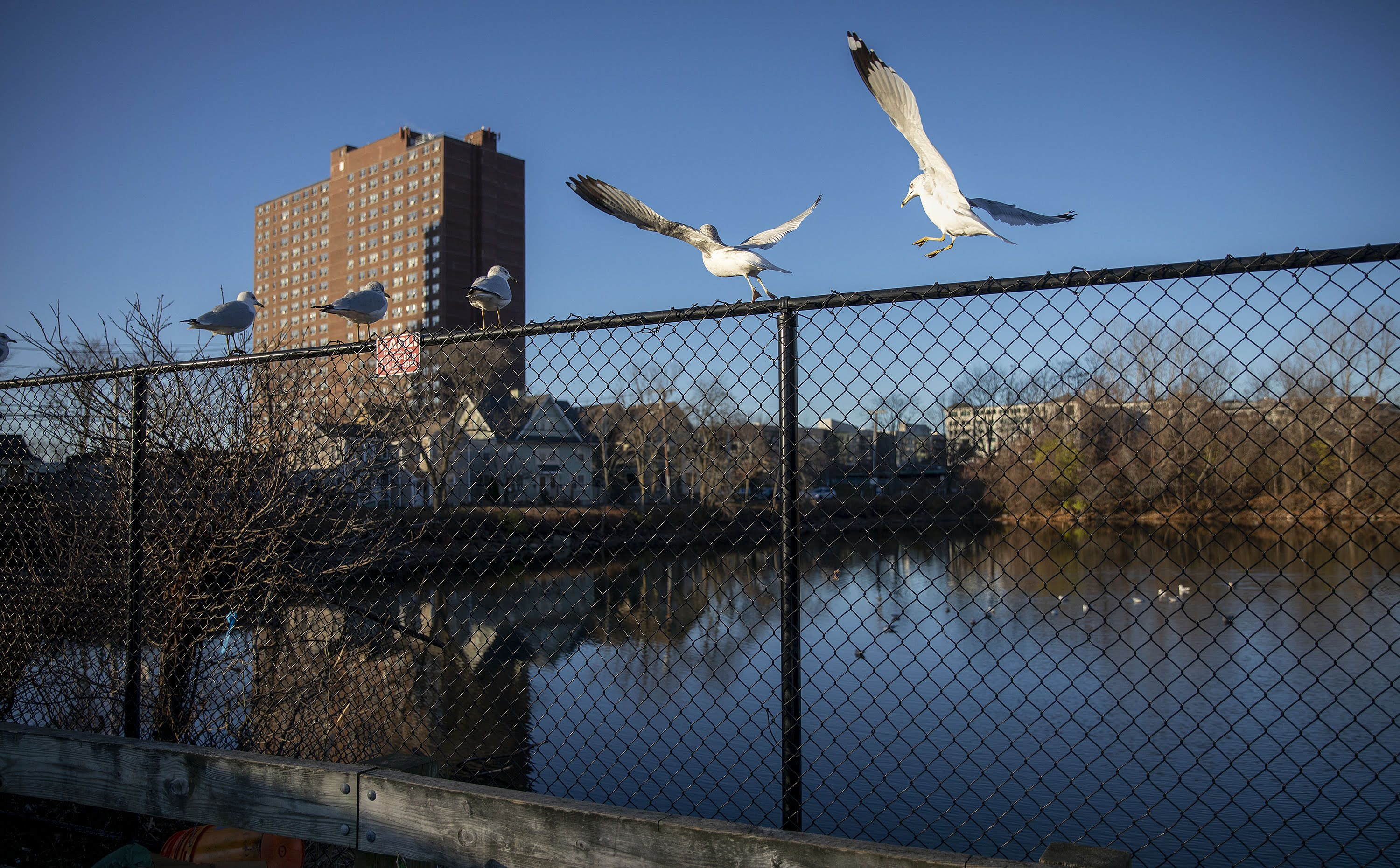 Seagulls on the fence surrounding Jerry's Pond. (Robin Lubbock/WBUR)