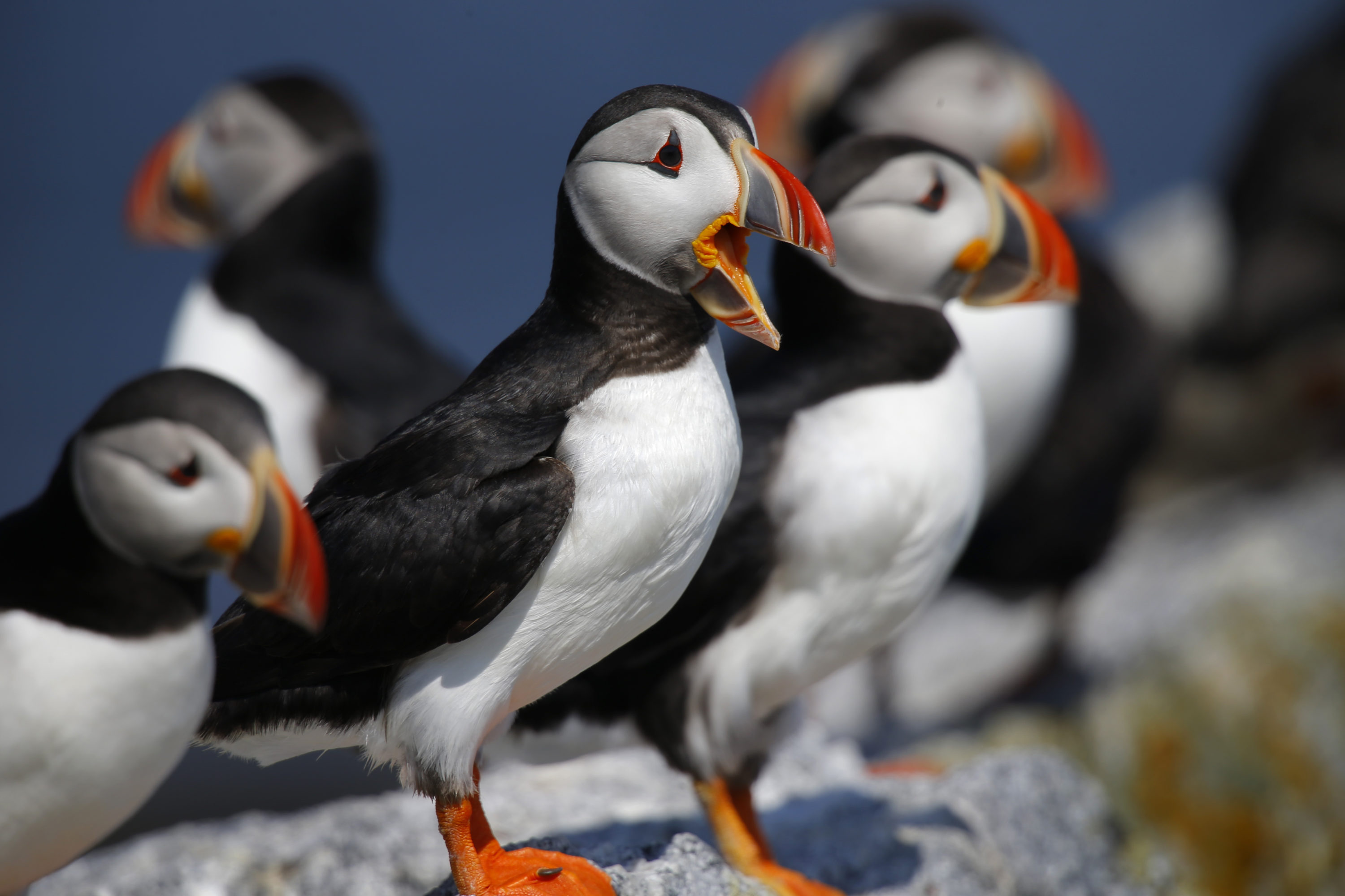 Atlantic puffins congregate on Eastern Egg Rock, a small island off the coast of Maine. Decades of conservation work have brought the state's population of the birds to about 1,300 pairs that nest on Maine islands. (Robert F. Bukaty/AP)