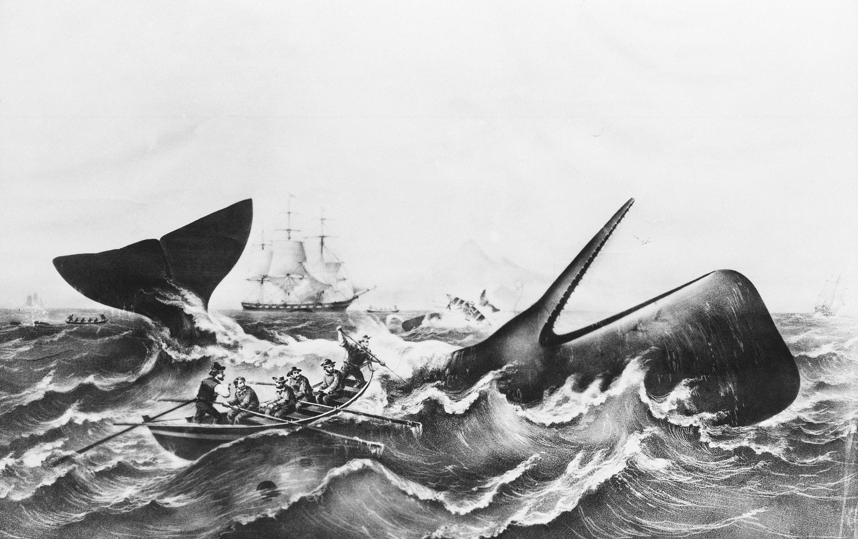 A famous old whaling print, circa 1850, showing mate attempting to lance and kill a threashing sperm whale. In background other whales toss frail lifeboats into the air. The whale is on his back, showing distinctive square shape of the sperm. This copied from files of the old Dartmouth Historical Society and Whaling Museum, Johnnycake Hill, New Bedford, Massachusetts. (AP Photo)