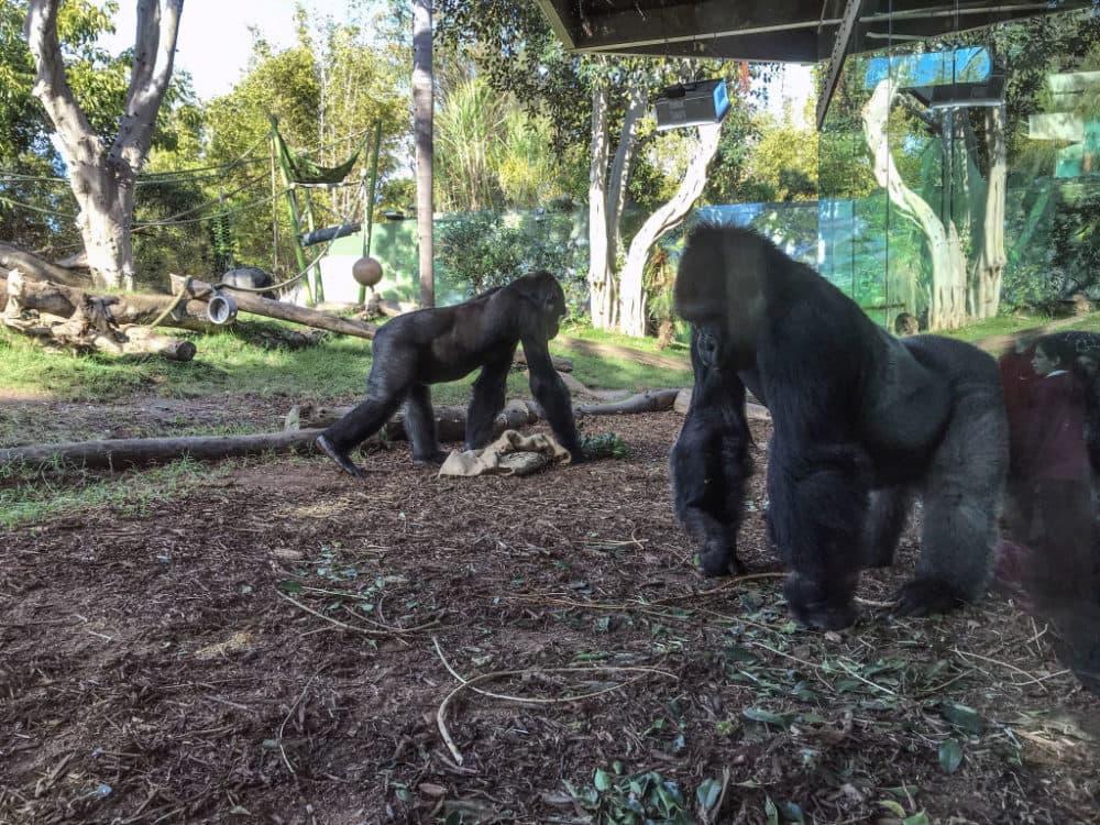 Gorillas in San Diego, California, in 2018. (Santi Visalli/Getty Images)