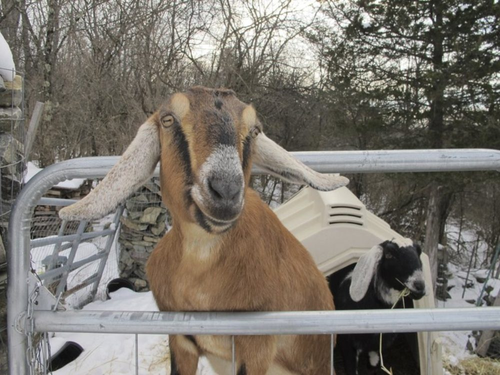 Lincoln, a Nubian goat, stands in her pen in Fair Haven, Vermont. (Lisa Rathke/AP)