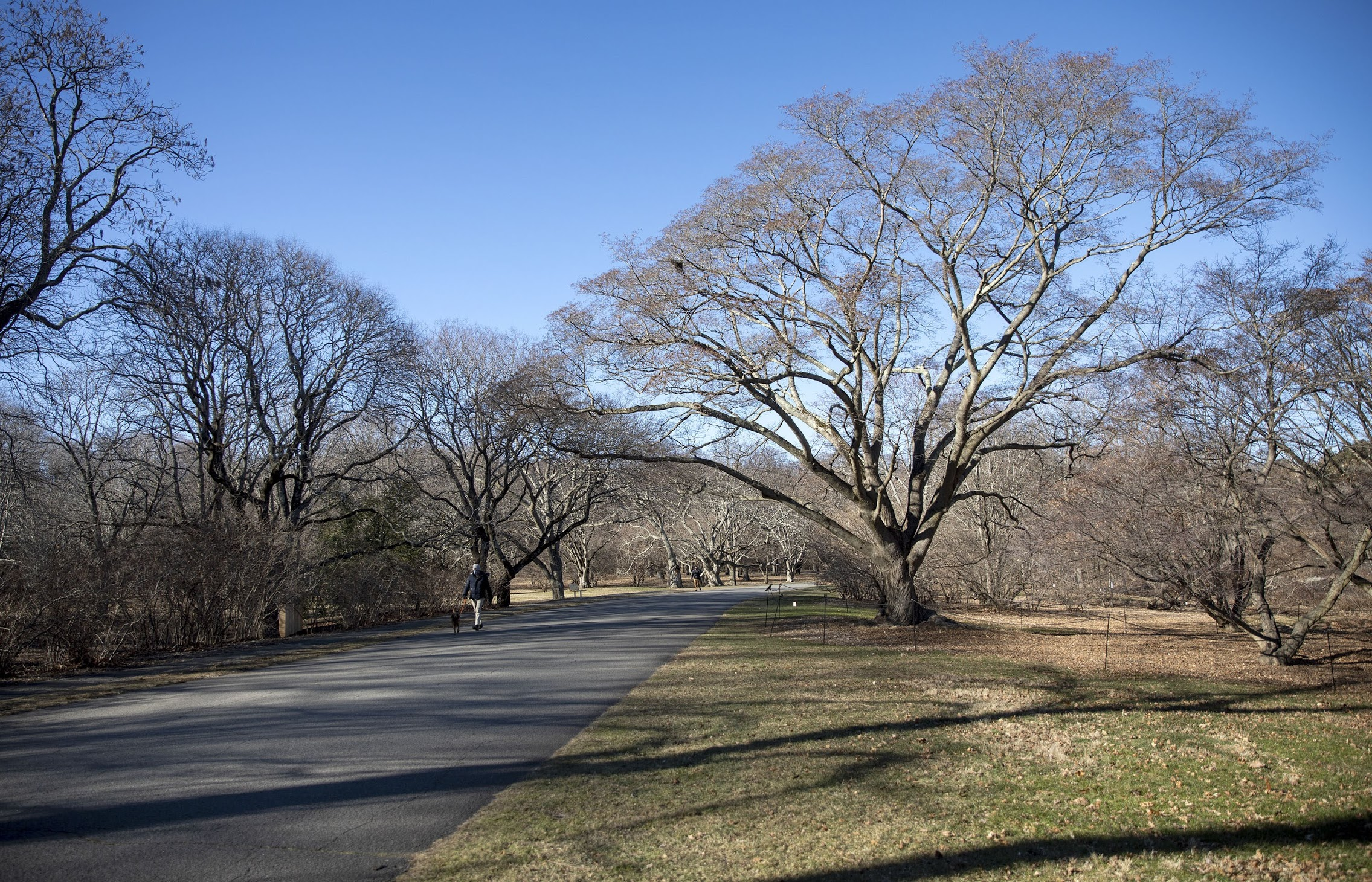 A painted maple at the Arnold Arboretum. Staff check the tree for Asian longhorn beetle each year. (Robin Lubbock/WBUR)