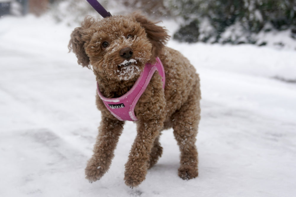 A cockapoo named Maddie tries to shake some snow off her fur in Hoboken, N.J., Monday, Feb. 1, 2021. Snowfall is picking up in the Northeast as the region braced for a whopper of a storm that could dump well over a foot of snow in many areas, create blizzard-like conditions and cause travel problems for the next few days. (Seth Wenig/AP)