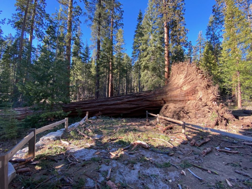 Fallen giant sequoia over a trail. (Jamie Richards/NPS Photos)