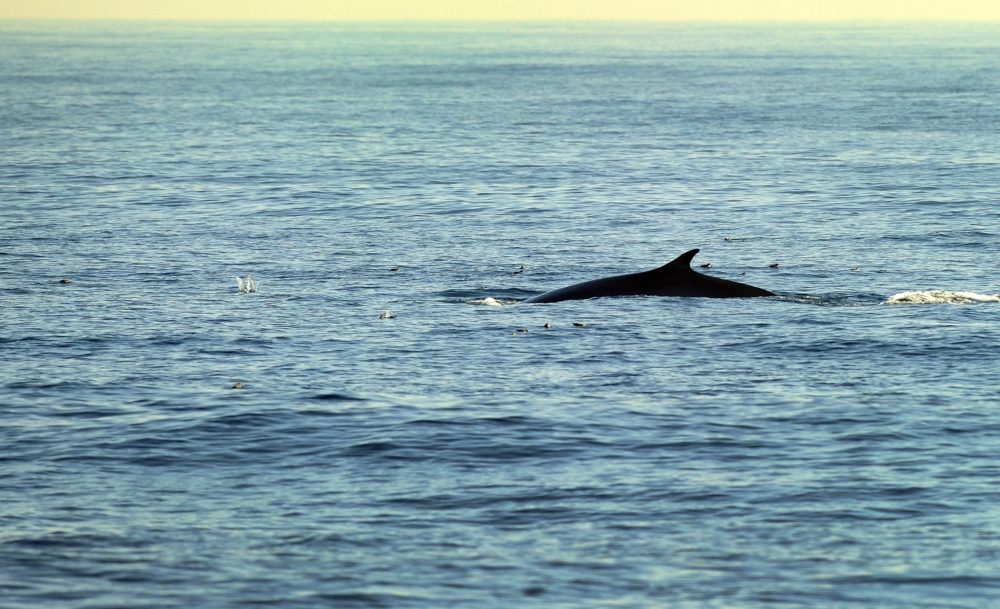 A fin whale is seen in the Pacific Ocean. (Frederic J. Brown/AFP via Getty Images)