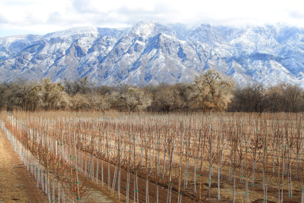 Trees stretch across a farm in Corrales, New Mexico, as snow covers the Sandia Mountains in the background. Much of the West is mired in drought, with New Mexico, Arizona, Nevada and Utah being among the hardest hit. (AP Photo/Susan Montoya Bryan)