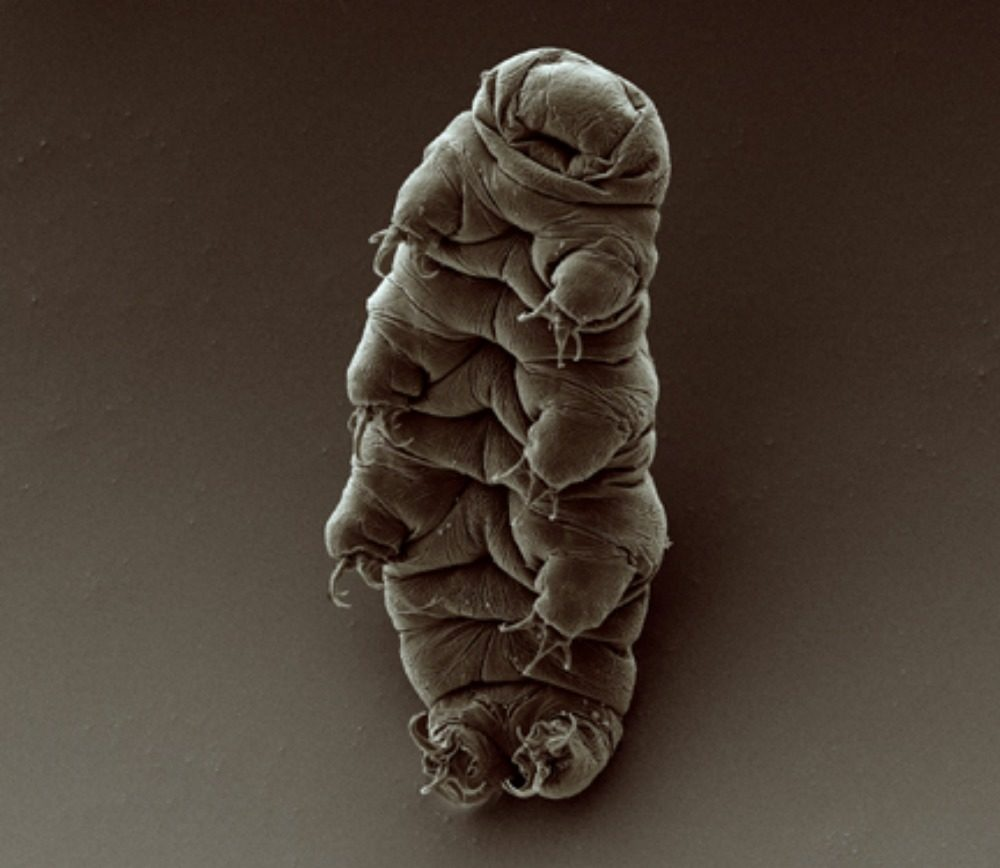 An adult tardigrade. (Credit: Goldstein lab - tardigrades, CC BY-SA 2.0 <https://creativecommons.org/licenses/by-sa/2.0>, via Wikimedia Commons)