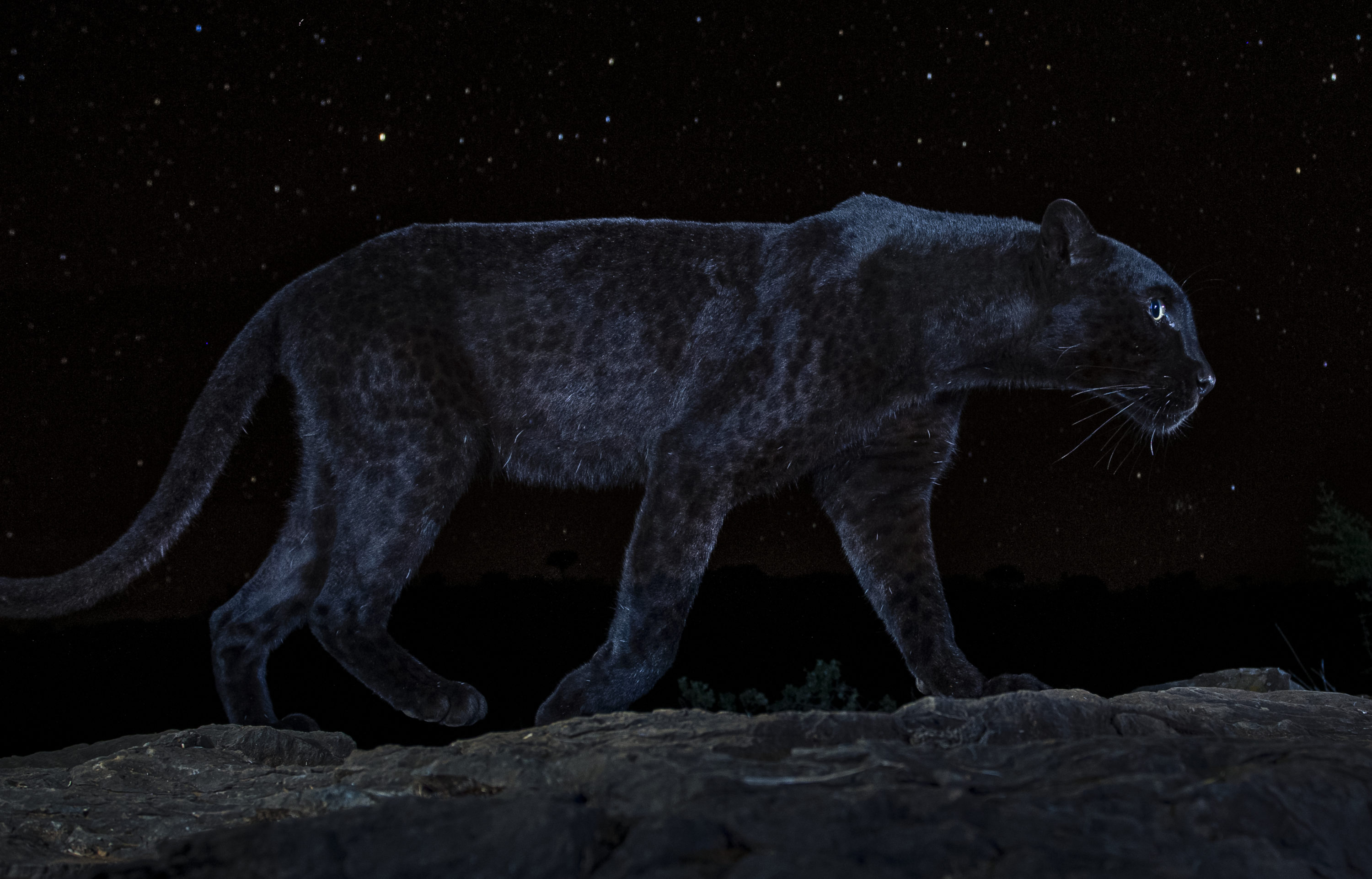 """An African black leopard featured in """"The Black Leopard: My Quest to Photograph One of Africa's Most Elusive Big Cats."""" (Will Burrard-Lucas)"""