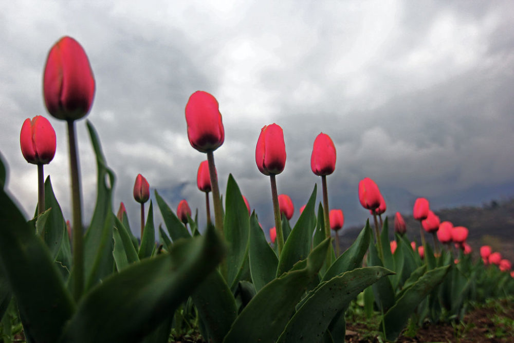 Tulips are seen inside Asia's largest Tulip Garden after it opens for general public and tourists in Srinagar, Kashmir, India on March 25, 2021.  (Faisal Khan/Anadolu Agency via Getty Images)