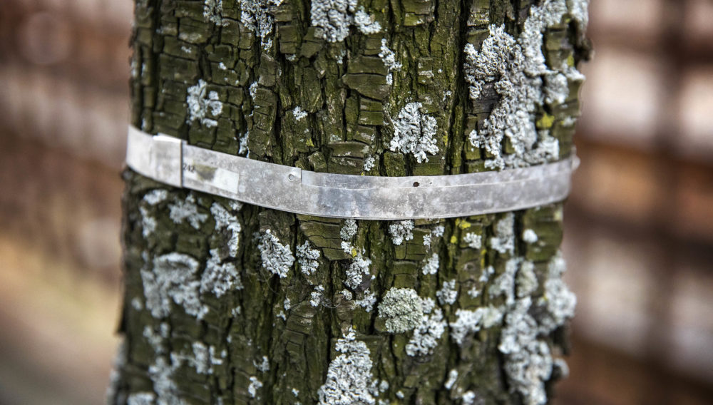 This band wrapped around the trunk of a tree expands as the tree grows. As that happens the two dots on the top of the band move apart, allowing researchers to measure the tree's growth. (Robin Lubbock/WBUR)