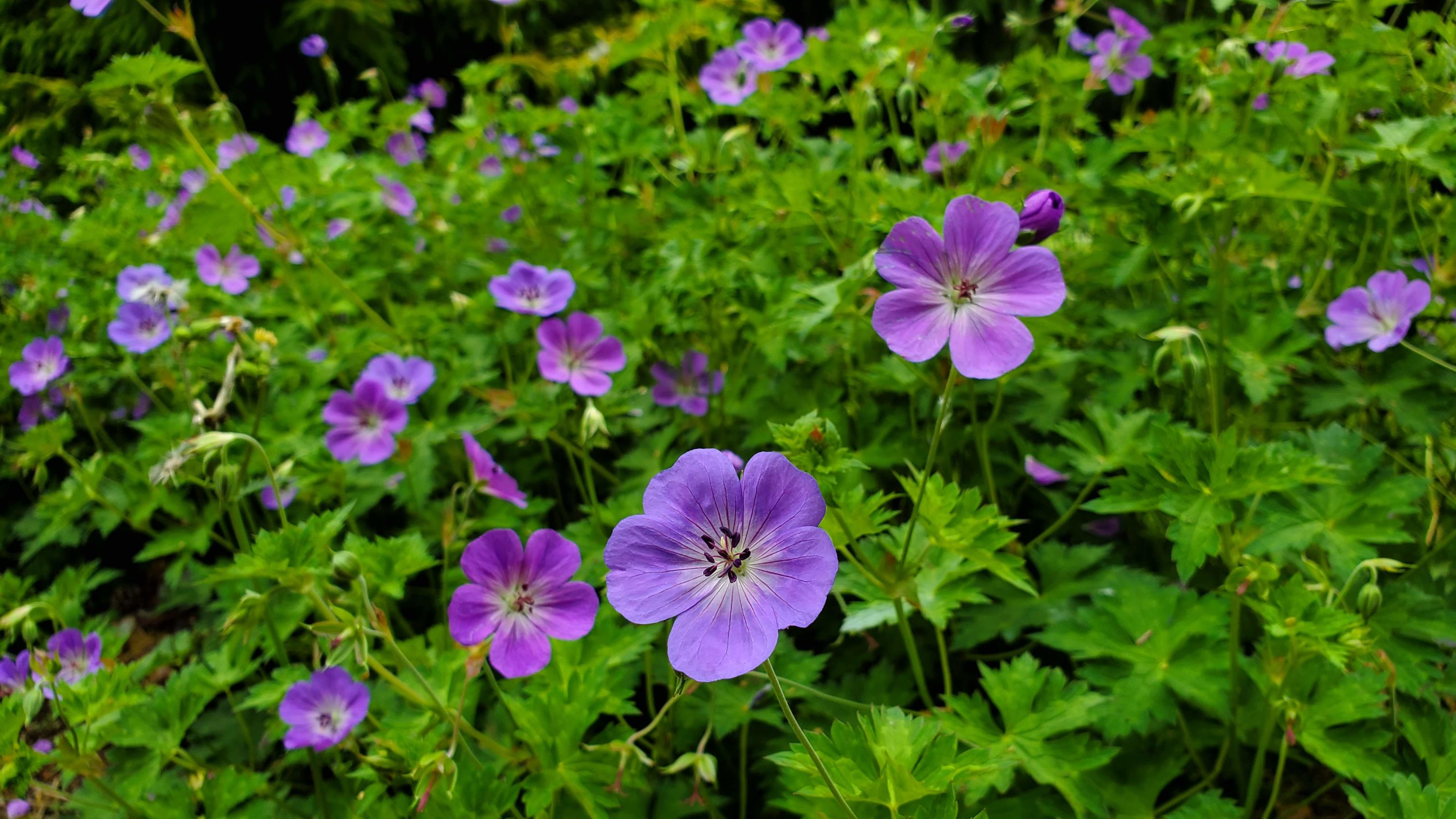"Mark Richardson explains that the geranium ""Rozanne"" is a beautiful, low-maintenance ground cover plant. (Courtesy Mark Richardson)"