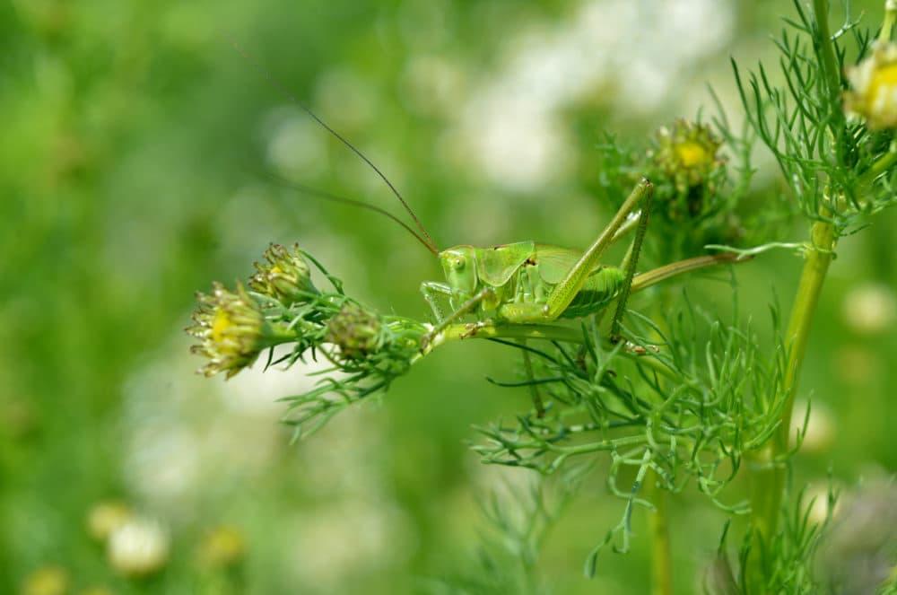 A grasshopper sits on a branch of a chamomile. (Kerstin Joensson/AP)