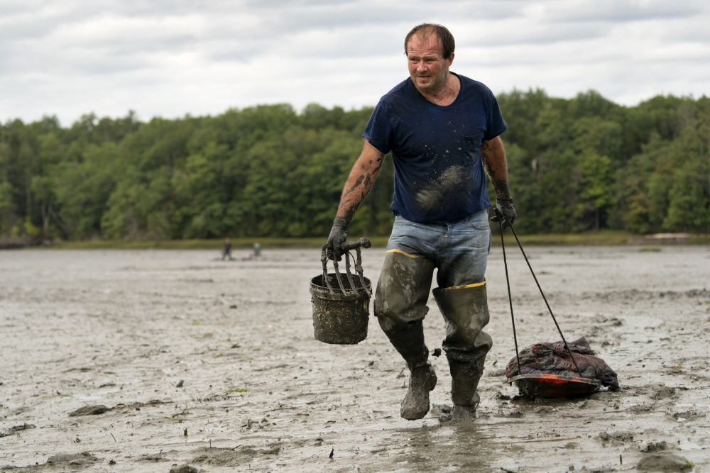 In this Sept. 3, 2020 file photo, clamdigger Mike Soule hauls bags of clams on a sled across a mudflat in Freeport, Maine. (Robert F. Bukaty / AP)