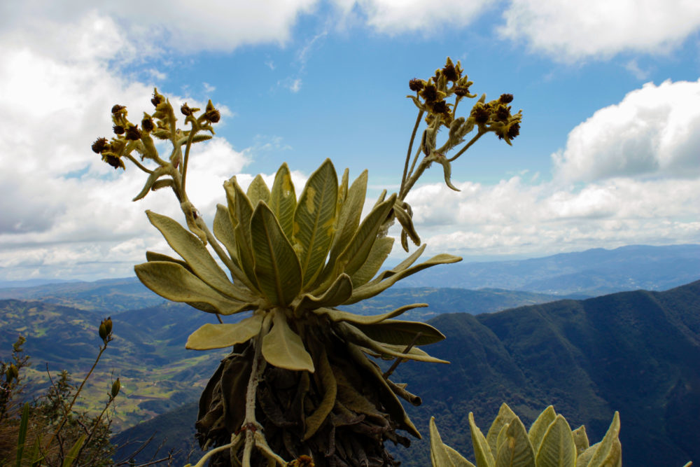 "The ""frailejón"" pictured above belongs to the plant genus espeletia -- a member of the sunflower family. Frailejones are unique to the high-altitude ""páramo"" ecosystems found scattered across the equatorial reaches of the Andean plateau. The frailejón is an iconic symbol of the Colombian highlands, of which a Bunker Hill student writes in her poem ""La Meseta."" (Wilder Fleming/WBUR)"