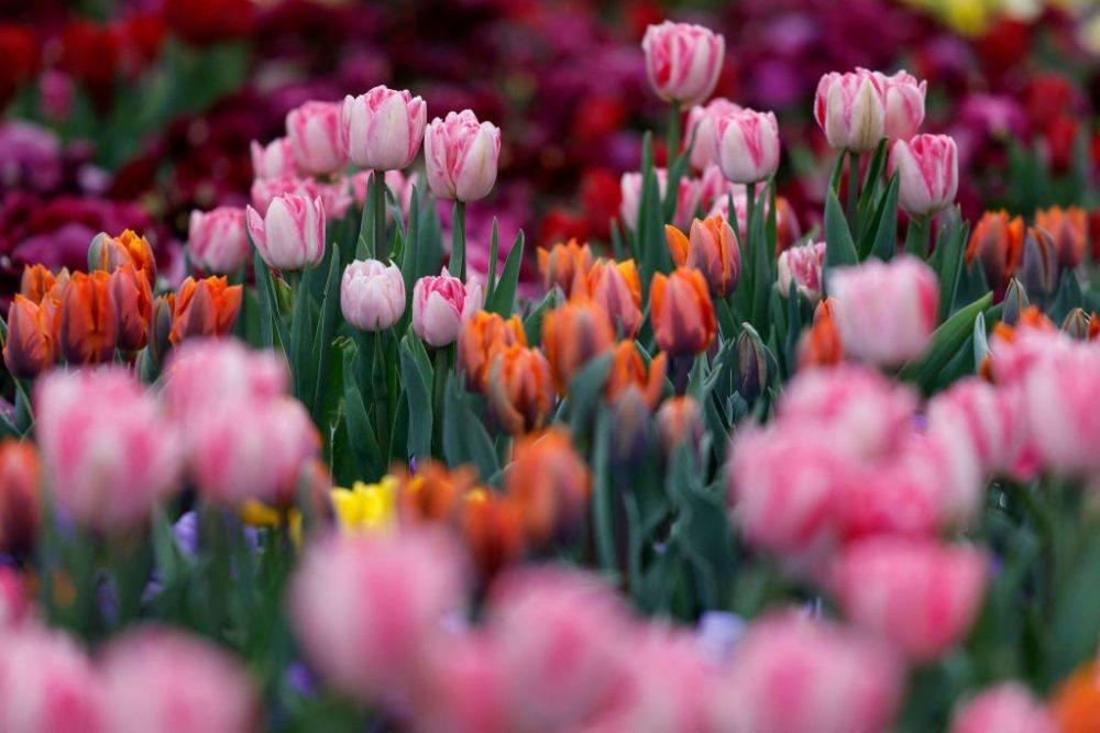 Tulips bloom in 2021. (David Gannon/AFP/Getty Images)