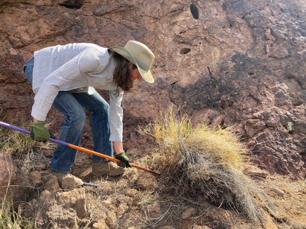 Kim Franklin from the Arizona Sonoran Desert Museum digs up a tuft of invasive bufflegrass in Saguaro National Park. (Peter O'Dowd/Here & Now)