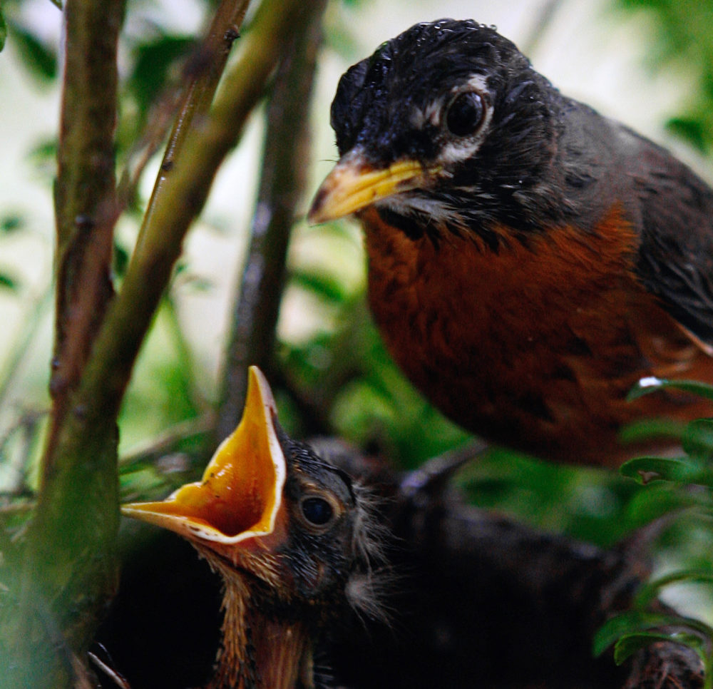An American Robin watches over one its babies in its nest. (Ron Edmonds/AP)