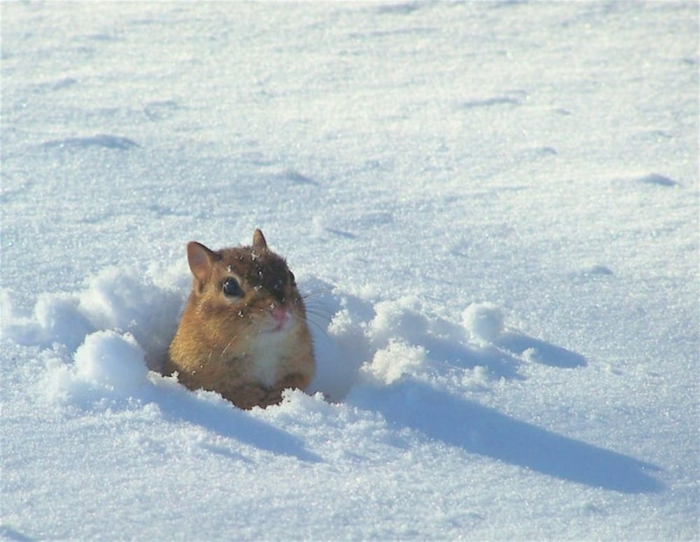 The winning photo of a chipmunk emerging from the snow in Virginia. (Mary Rabadan)