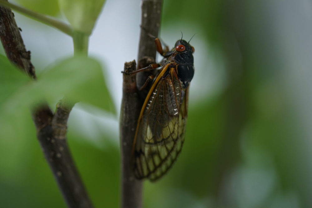 An adult cicada spotted in Washington, D.C., on May 6, 2021. Trillions of cicadas are about to emerge from 15 states. (Carolyn Kaster/AP)