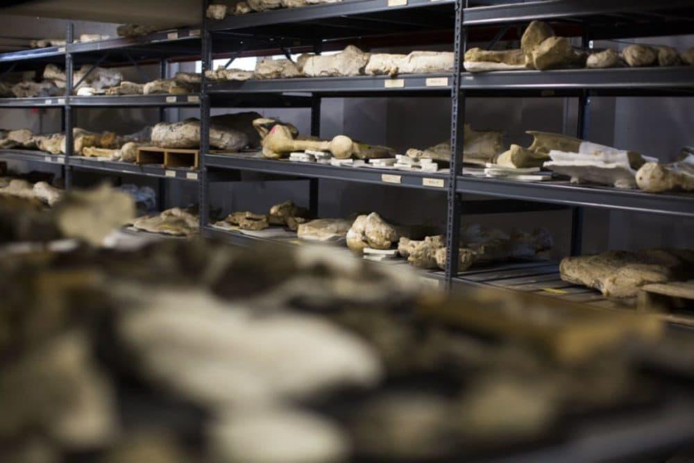 The Texas Vertebrate Paleontology Collection. (Gabriel C. Pérez/KUT)