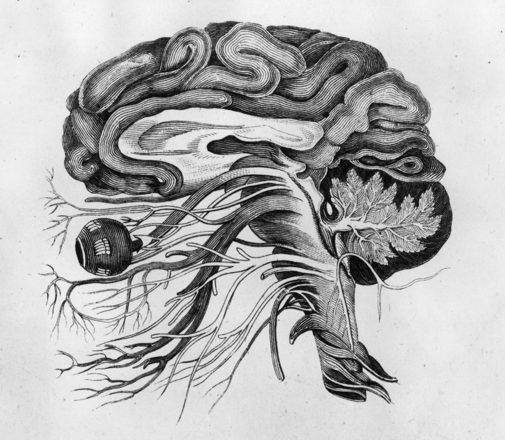 Anatomical drawing of the human brain and cerebral nerves.  (Hulton Archive/Getty Images)