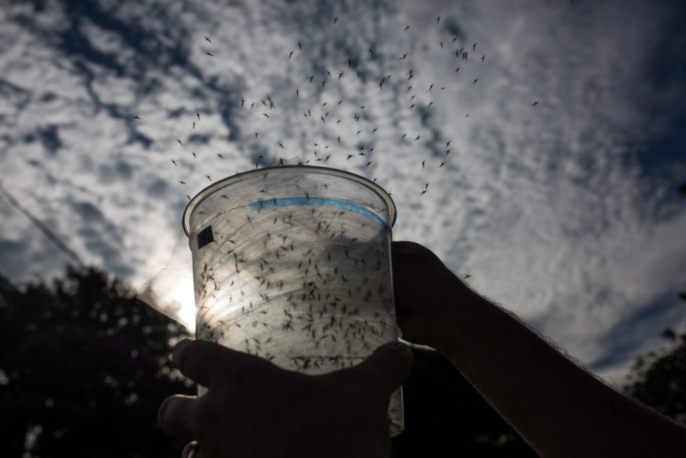 A Biologist releases genetically modified mosquitoes in Brazil. (Victor Moriyama/Getty Images)