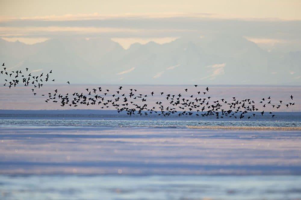 Long-tailed ducks along a barrier island outside Kaktovik, Alaska. Every fall, long-tailed ducks gather near Kaktovik on the northern edge of ANWR, Arctic Alaska, Brooks range in the background. (Sylvain CORDIER/Gamma-Rapho via Getty Images)