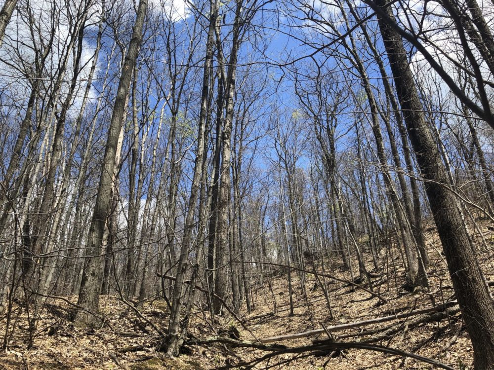 This hillside in Monkton has been completely defoliated by LDD caterpillars. Most of the trees may be able to grow new leaves later this summer, but drought could exacerbate the stress caused by the caterpillars. (Jane Lindholm/VPR)