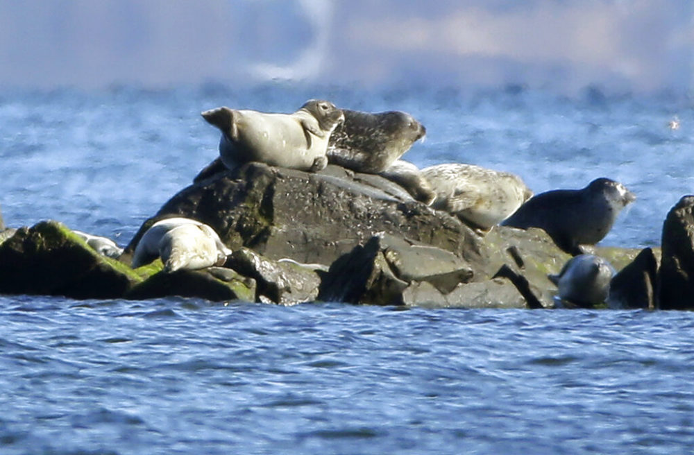 In this March 3, 2016 photo seals rest on rocks in Narragansett Bay off the coast of North Kingstown, R.I. Rhode Island as recently upped the rates of parking fees for Misquamicut State Beach. (Steven Senne/AP)