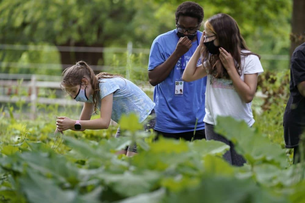 Jamil Boykin, center, camp educator at the Mass Audubon's Boston Nature Center and Wildlife Sanctuary, examines wild sorrel with students Nesha Moskowitz, left, and Lyla Mendoza. (Steve Senne/AP)