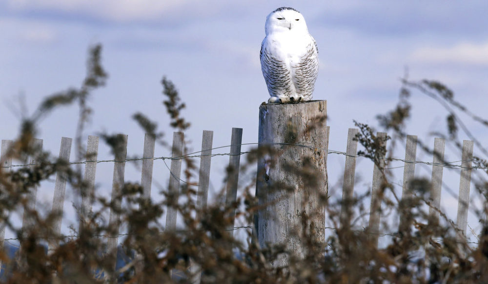 In this Dec. 14, 2017 photo, a snowy owl sits atop a fence post after being released along the shore of Duxbury Beach in Duxbury, Mass. (Charles Krupa/AP)