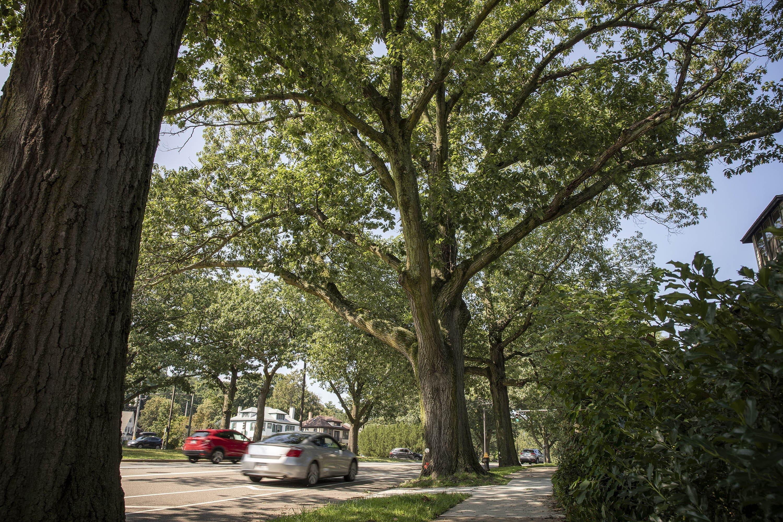 A large oak in Jamaica Plain. (Robin Lubbock/WBUR)