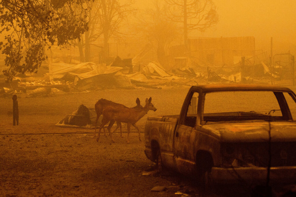 In this Aug. 6, 2021 photo, deer wander among homes and vehicles destroyed by the Dixie Fire in the Greenville community of Plumas County, Calif. (Noah Berger/AP)