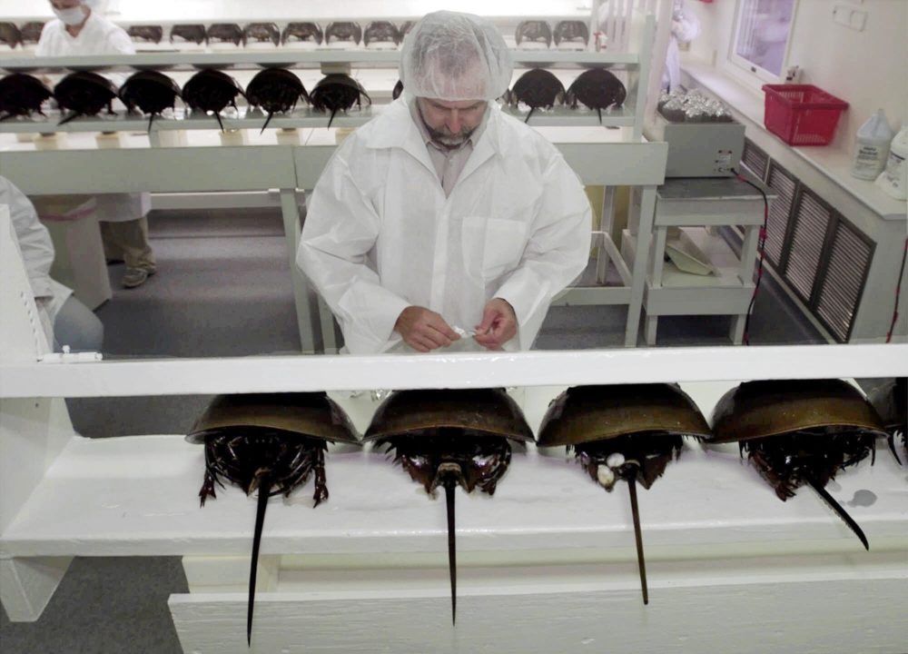 In this Aug. 1, 2000 file photo, technician Tom Bentz prepares a group of horseshoe crabs for bleeding at a lab in Chincoteague Island, Va. (Steve Helber/AP)