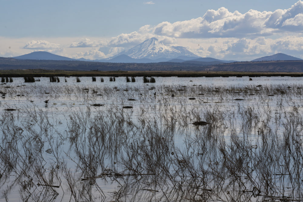 Birds and other wildlife move through a wetland in the Klamath River Basin in Tulelake, Calif. (AP Photo/Nathan Howard)
