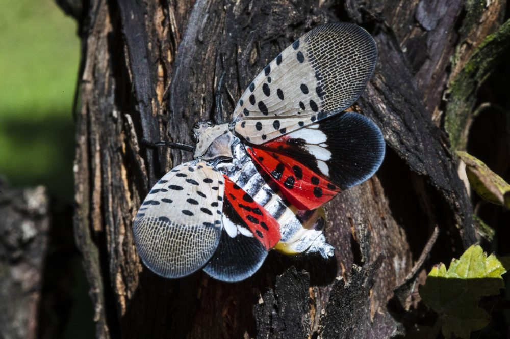 A spotted lanternfly at a vineyard in Kutztown, Pa. in 2019. (Matt Rourke/AP File)