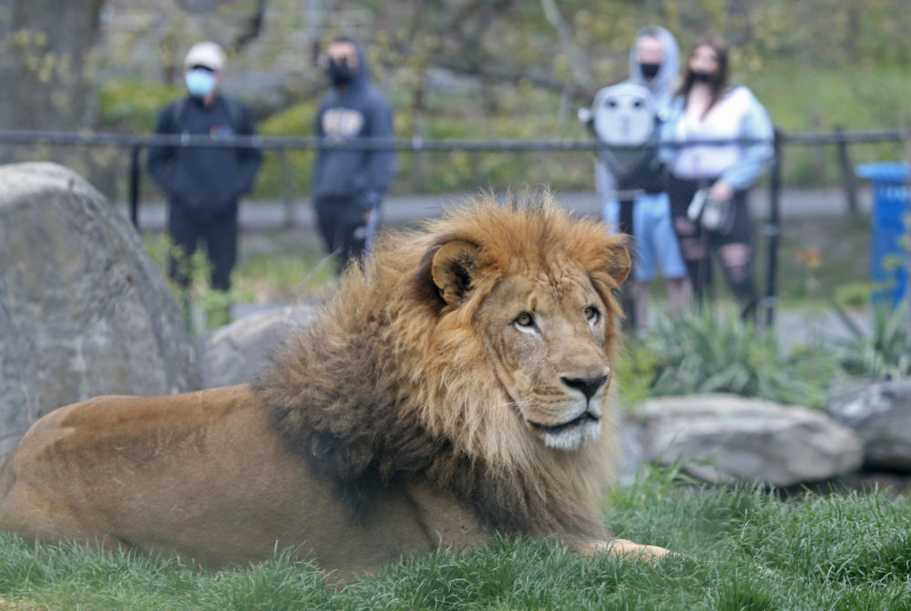 Lions at the Franklin Park Zoo on May 7, 2021 in Boston. (Matt Stone/MediaNews Group/Boston Herald via Getty images)