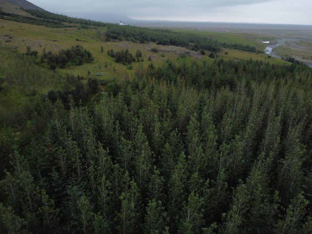 In this aerial view a small forest of pine and birch trees stands on August 17, 2021 near Hofn, Iceland.   (Sean Gallup/Getty Images)