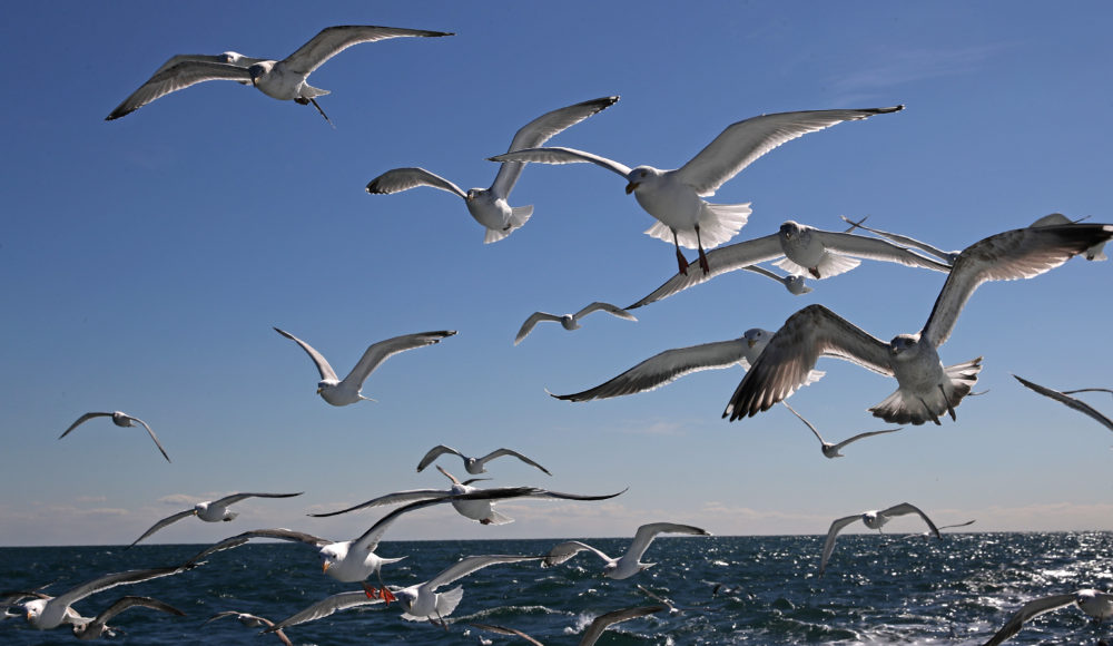 Sea gulls in flight flock together, looking for a handout from a fishing boat off Stellwagen Bank off the coast of Gloucester in 2017. (David L. Ryan/The Boston Globe via Getty Images)
