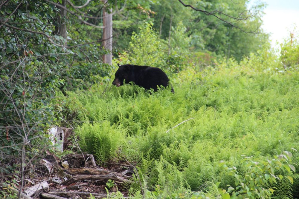 A black bear recovers from the tranquilizer and ambles into the woods. (Reid R. Frazier/The Allegheny Front)