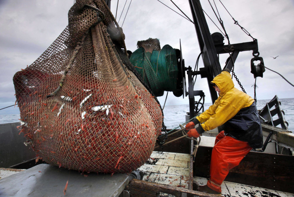 n this Jan. 6, 2012 photo, James Rich maneuvers a bulging net full of northern shrimp caught in the Gulf of Maine. Regulators are closing the Gulf of Maine winter shrimp season for another three years after receiving a dismal report on the depleted fishery. (Robert F. Bukaty/AP File)