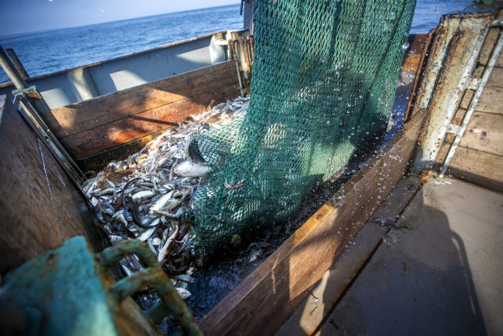 A net full of squid and various other types of fish is released onto the deck of the Cailin & Mairead. (Jesse Costa/WBUR)